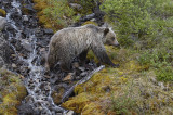 Grizzly Bear crossing mountain stream.