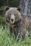 Rocky Mountain Grizzly bear portrait