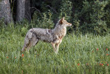 Dignity of Coyote