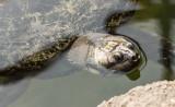 Sea turtle (sep14)