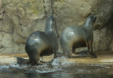 Sea lions (sep14)