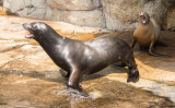Screaming sea lions (sep14)