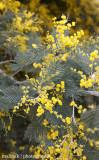 IMG_8283001.jpg - Mimosa