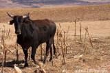 IMG_8329001.jpg - Basotho Cow