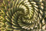 IMG_8428001.jpg - Aloe