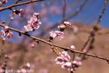 IMG_8410001.jpg - Peach Tree