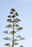 IMG_8643001.jpg - Aloe Tree