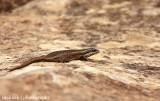IMG_0443001.jpg - Lizard