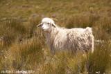 IMG_1452001.jpg - Basotho Goat