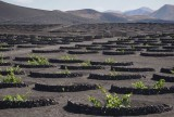 vineyard in  lava soil