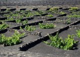 vineyard on volcanic ashes