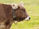 portrait d'une vache autrichienne