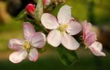 fleurs de jardin - garden flowers