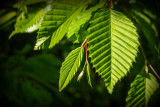 feuilles de chataignier