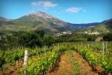 les vignes de Patrimonio