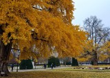 the big ginkgo tree