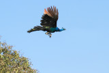Indian Peafowl in Flight
