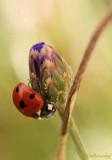 Ladybug.Coccinelle