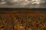 BOURGOGNE (Burgundy) Vineyard.