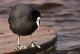 Le CROTOY. The COOT in Holiday