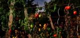 BOURGOGNE. Autun.Autumn Tomatoes