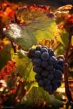 BOURGOGNE.Volnay Grape