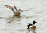 Le CROTOY.Ducks with flat beek