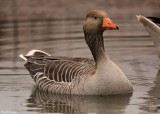 Le CROTOY.Wild Goose