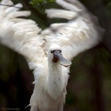 SPOONBILL in a curious pose