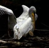 PELICANS on their nest Island