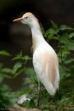 The Little Heron named Western Cattle Egret