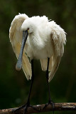 SPOONBILL .Looking for you