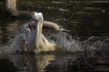 PELICAN  playing