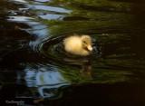 SIENA.Duckling