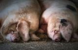 Basking Porkers