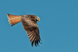 Red Kite scanning for food