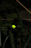 Glowworm. Mature female.
