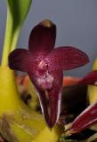 Bulbophyllum elevatopunctatum. Close-up.