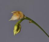 Bulbophyllum korthalsii. Close-up side.