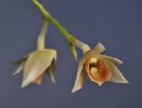Dendrobium armeniacum