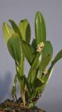 Dendrobium triquetrum