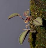 Dresslerella sijmiana