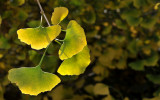 Ginkgo biloba Autumn.