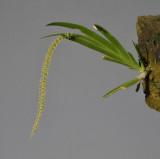 Oberonia singalangensis