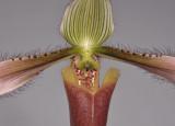 Paphiopedilum dayanum. Close-up.