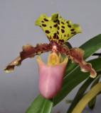 Paphiopedilum henryanum. Close-up.