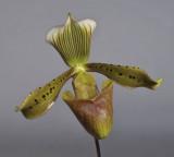 Paphiopedilum tonsum. Close-up.