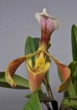 Paphiopedilum villosum. Close-up.