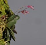 Pleurothallis grobyi complex.