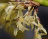 Pleurothallis sp. Close-up. 970941.